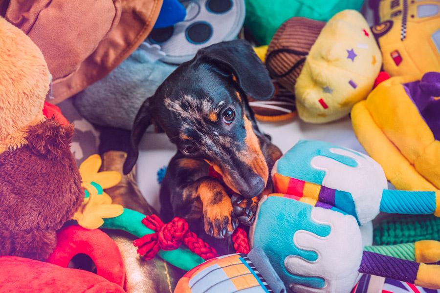 Dachshund playing amongst toys