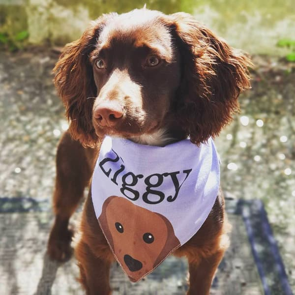 Ziggy in a violet Personalised Yappicon Bandana
