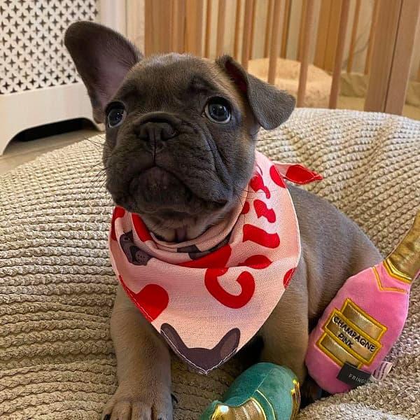Colin in his Valentine's Hearts Bandana