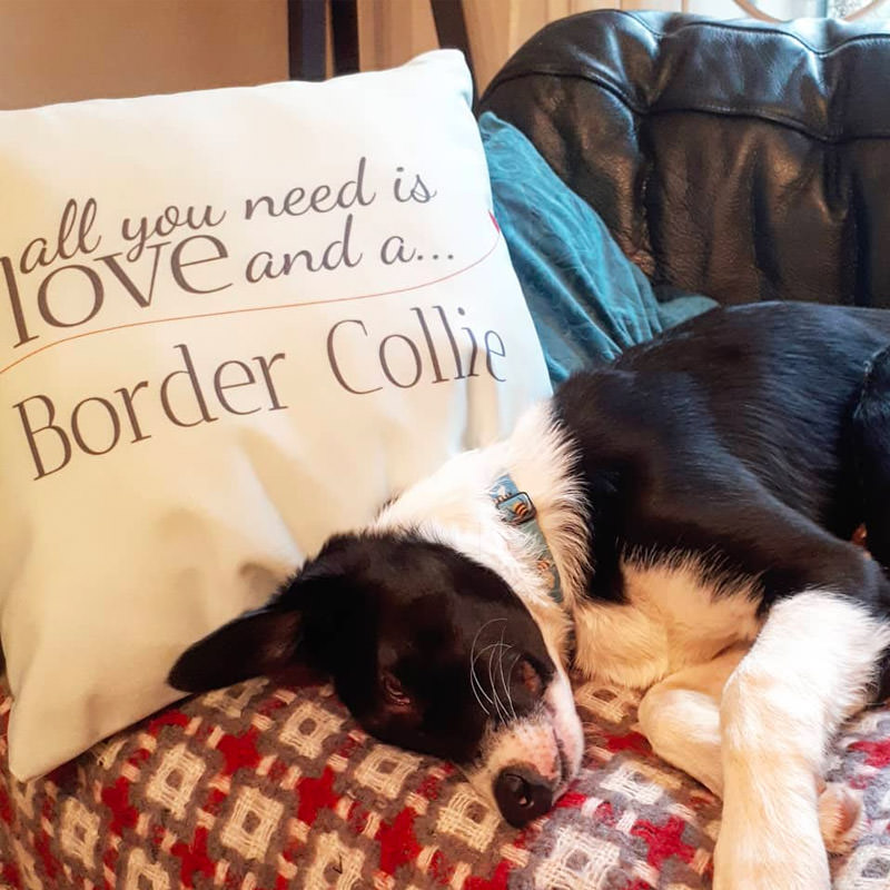 Border Collie with their All you need is love Cushion