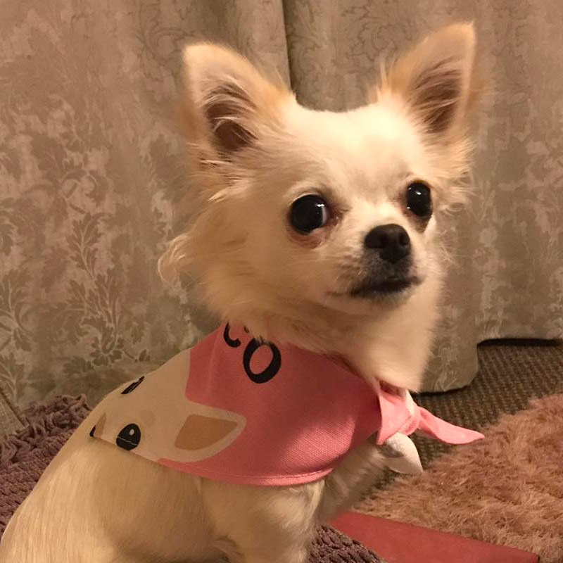 Chihuahua with her Peeking Bandana