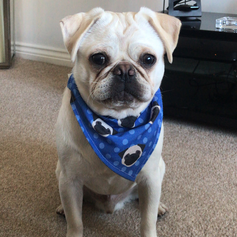 Showing off his Personalised Pug Bandana