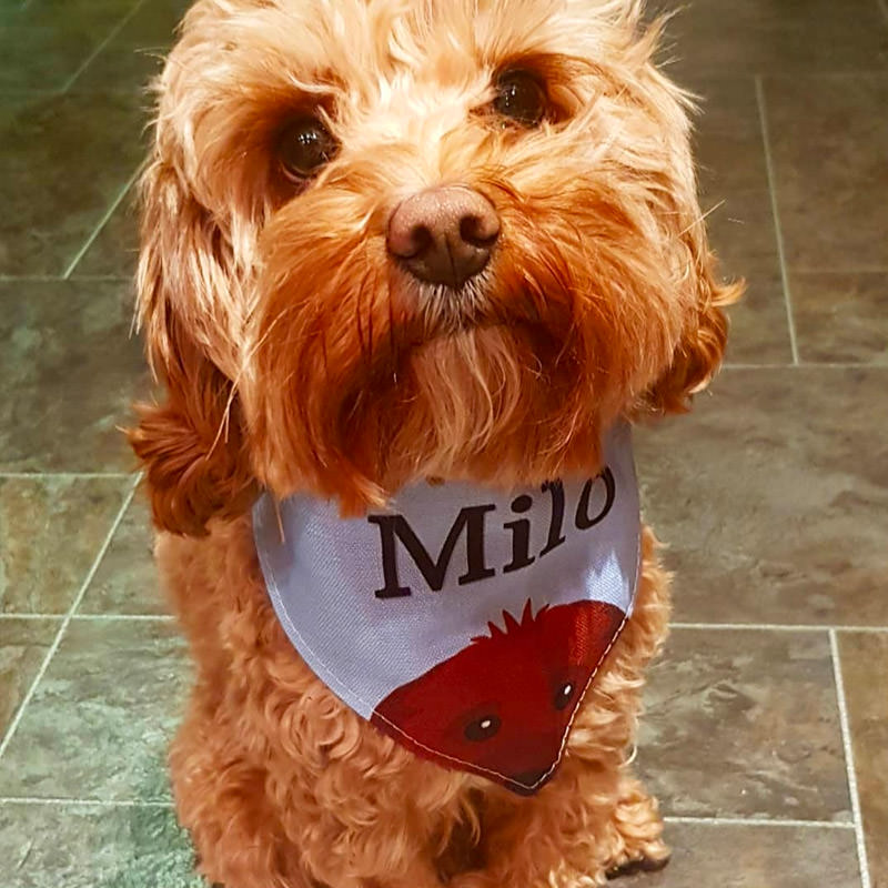 Milo with his Personalised Peeking Yappicon Bandana