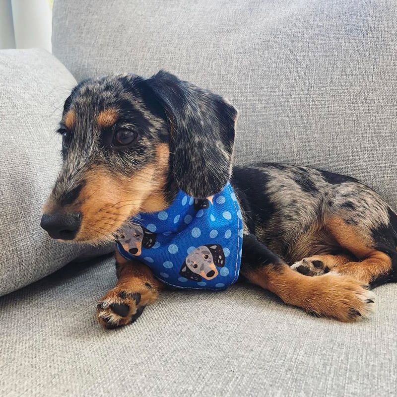 Ozzy with his Dachshund Bandana