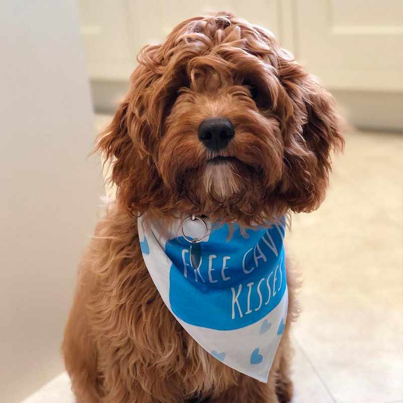 Rusty with his Personalised Free Kisses Bandana